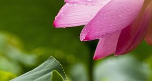 Lotus-Effekt